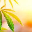 nasiona-marihuany-4